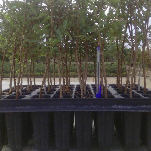 pistacia-atlántica-una-savia-en-alveolo-forestal